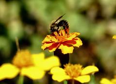 fleißig (karin_b1966) Tags: blume flower blüte blossom pflanze plant tier animal insekt insect garten garden natur nature 2019 biene bee tagetes studentenblume