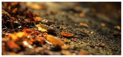 Autumn (1 of 1) (ianmiddleton1) Tags: autumn bellahoustonpark leaves trees