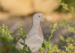 Pigeon Colombin / Stock Dove / Columba Oenas (PriscillaHernandez85) Tags: 550d 70200 columbaoenas france isère oiseau pigeoncolombin rhonealpes stockdove bird canon70200f4 animal wildlife