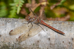 _IMG0500 Common Darter - Sympetrum striolatum (Pete.L .Hawkins Photography) Tags: petehawkins petelhawkinsphotography petelhawkins petehawkinsphotography 150mm macro pentaxpictures pentaxk1 petehawkinsphotographycom rotherhamphotographer irix f28 11 fantasticnature fabulousnature incrediblenature naturephoto wildlifephoto wildlifephotographer naturesfinest unusualcreature naturewatcher minibeast tiny creatures creepy crawly bug wildlife insectphoto bugphoto insect invertebrate 6legs compound eyes uglybug bugeyes fly wings eye veins flyingbug flying common darter sympetrum striolatum