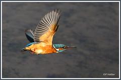 Martin-pêcheur vol 190921-01-P (paul.vetter) Tags: oiseau ornithologie ornithology faune animal bird martinpêcheur alcedoatthis eisvogel kingfisher