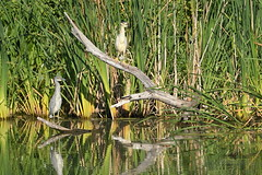 Black Crowned Night Heron adult with Juvenile yellow-crowned night-heron (Steve Liffmann) Tags: blackcrownednightheron yellowcrownednightheron