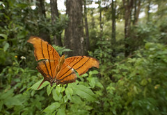 Ruddy Daggerwing wide 3 (brian.magnier) Tags: loop road everglades big cypress florida south tropical wildlife nature animals outdoors ecology environment