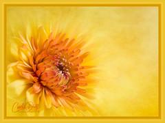 Summertime (cd32919) Tags: flower beautiful plant flora nature chrysanthemum floral mum macro bloom bright closeup natural isolated petal petals botany stem blossom yellow blooming white vivid single light botanical burst vibrant detail bud cyndydoty fineart