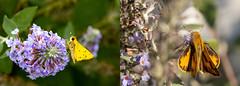 It's All in How You Look at It (David Illig) Tags: fieryskipper taxonomy:binomial=hylephilaphyleus