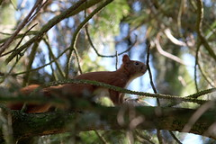 Squirrel II (F_root) Tags: takumar 20056 fujixt10