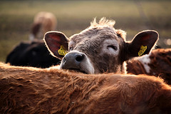You've Got a Friend (matilda.christiansson) Tags: cows cow friendship friend lighthalo animals agriculture unescoworldheritage öland sweden animalfriendship eyesclosed canon scandinavia nordic ngysaex cattle canoneos500d