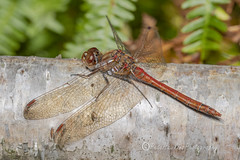 _IMG0502 Common Darter - Sympetrum striolatum (Pete.L .Hawkins Photography) Tags: petehawkins petelhawkinsphotography petelhawkins petehawkinsphotography 150mm macro pentaxpictures pentaxk1 petehawkinsphotographycom rotherhamphotographer irix f28 11 fantasticnature fabulousnature incrediblenature naturephoto wildlifephoto wildlifephotographer naturesfinest unusualcreature naturewatcher minibeast tiny creatures creepy crawly bug wildlife insectphoto bugphoto insect invertebrate 6legs compound eyes uglybug bugeyes fly wings eye veins flyingbug flying common darter sympetrum striolatum