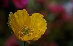 DSC05508 (Argstatter) Tags: blume blüten bokeh natur gelb flower pflanze makro