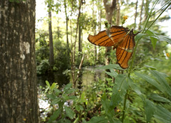 Ruddy Daggerwing wide 5 (brian.magnier) Tags: loop road everglades big cypress florida south tropical wildlife nature animals outdoors ecology environment