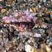 Dragon Sea Moth - Eurypegasus draconis