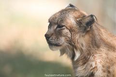 Lynx (fauneetnature) Tags: lynx fauve animal photoanimalière faune nature naturephotography photonature wildlife