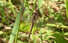 Common Darter (Sybalan,) Tags: toward canon cowal coastal insects dragonflies shieldbug ladybird hedgerow sunny autumn argyllandbute macro green gorse 550d