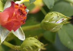 rose-gets-wild (elmar theurer) Tags: blumen flower nature natur flora magenta gelb rose makro blüten blüte farben colors blume hell abstrakt abstract art kunst roses