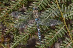 _IMG0472 Migrant Hawker - Aeshna mixta (Pete.L .Hawkins Photography) Tags: petehawkins petelhawkinsphotography petelhawkins petehawkinsphotography 150mm macro pentaxpictures pentaxk1 petehawkinsphotographycom rotherhamphotographer irix f28 11 fantasticnature fabulousnature incrediblenature naturephoto wildlifephoto wildlifephotographer naturesfinest unusualcreature naturewatcher minibeast tiny creatures creepy crawly bug wildlife insectphoto bugphoto insect invertebrate 6legs compound eyes uglybug bugeyes fly wings eye veins flyingbug flying migrant hawker aeshna mixta