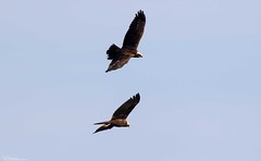 Marsh Harriers (Steve (Hooky) Waddingham) Tags: animal countryside canon british bird nature harrier marsh wild wildlife water rutland prey photography planet