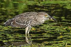 Black-crowned Night Heron - Aug-11-2019 (89-1) (JPatR) Tags: 2019 august blackcrownednightheron carpentersville carpentersvilledam foxriver foxrivervalley illinois summer bird nature wildlife