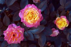 coming-up-roses (elmar theurer) Tags: blumen flower nature natur flora magenta gelb rose makro blüten blüte farben colors blume hell abstrakt abstract art kunst