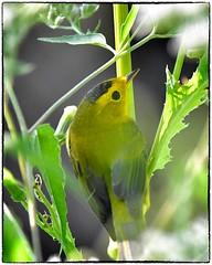 Willson's Warbler (RKop) Tags: aultpark cincinnati raphaelkopanphotography warblers d500 14xtciii 600mmf4evr nikon wildlife handheld