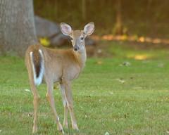 Fall Fawn - Button Buck (msembeck) Tags: fawn deer whitetail whitetaileddeer nikon buck d7000 mybackyard