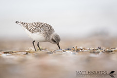 Grey plover (Matt Hazleton) Tags: greyplover pluvialissquatarola plover wader beach sea coast sand matthazleton matthazphoto bird wildlife nature animal outdoor norfolk rspb rspbtitchwellmarsh royalsocietyfortheprotectionofbirds titchwell titchwellmarsh canon canoneos7dmk2 canon100400mm eos 7dmk2 100400mm