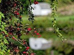 (joeldinda) Tags: park reflection building fruit river berry berries grandriver jayceepark jcpark shed parks olympus september omd grandledge em1 2019 4745 eatoncounty omdem1mkii em1ii michigan