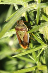 Gorse Shield Bug (Sybalan,) Tags: toward canon cowal coastal insects dragonflies shieldbug ladybird hedgerow sunny autumn argyllandbute macro green gorse 550d
