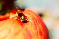 The story of the apple and the wasp. (RW-V (No logos please)) Tags: canoneos70d canonefs35mmf28macroisstm latesummer wasp guêpe wespe wesp apple pomme apfel appel macro nature natur natuur lomo 225faves 2500views 275faves
