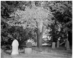 Tree Highlight in Churchyard (jhotopf) Tags: kodakaeroektar178mm 1944lens speedgraphic bluemooncameraandmachine pacemakerspeedgraphic graflex 20thcenturycamera aeroektar178mm berggerpanchro400 monochrome blackwhite noiretblanc blancoynegro film largeformat 4x5 5x4