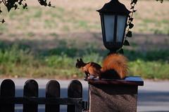 Squirrel III (F_root) Tags: takumar 20056 fujixt10