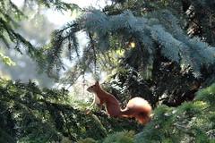Squirrel (F_root) Tags: takumar 20056 fujixt10