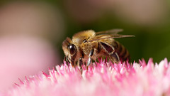 (Carsten Weigel) Tags: biene bee insekt insect macro nature garten garden carstenweigel panasonicgx9 leica45mmf28macro