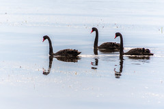 Three Black Swans and Reflections on the Bay (Merrillie) Tags: blackswans landscape nature bay birds tascott foreshore newsouthwales koolewong nsw brisbanewater threeofakind waterscape morning australia earlymorning coastal swans sky animals fauna centralcoast water outdoors