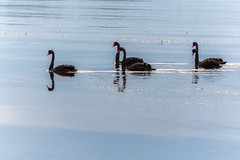 Five Black Swans and Reflections on the Bay (Merrillie) Tags: blackswans landscape nature bay birds tascott foreshore newsouthwales koolewong nsw brisbanewater fiveofakind waterscape morning australia earlymorning coastal swans sky animals fauna centralcoast water outdoors