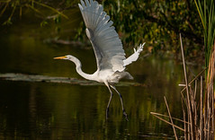 Delicate feet (SusieMSB7) Tags: flying birds nature egret