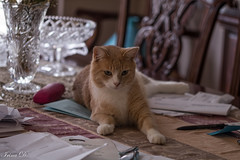 Truffle caught in flagrant (Irina1010) Tags: cat truffle pet sitting table flagrant caturday canon
