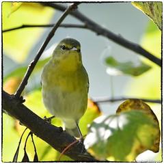Tennessee Warbler (RKop) Tags: aultpark cincinnati raphaelkopanphotography warblers d500 14xtciii 600mmf4evr nikon wildlife handheld