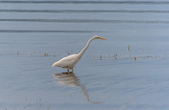 Eastern Great Egret in the Bay (Merrillie) Tags: landscape nature bay birds tascott foreshore newsouthwales easterngreategret earlymorning nsw brisbanewater koolewong egret australia morning waterscape coastal heron sky animals fauna centralcoast water outdoors