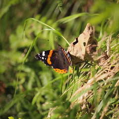 Red Admiral (NanashiNoProfile) Tags: kinross munduff kilmagad scotlandwell kinnesswood scotland canon 700d