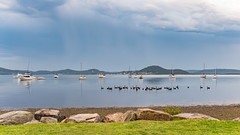 Clouds, Boats and Swans on the Bay (Merrillie) Tags: blackswans landscape nature water birds tascott boats newsouthwales clouds koolewong nsw brisbanewater waterscape morning australia earlymorning foreshore coastal swans outdoors animals fauna centralcoast sky bay