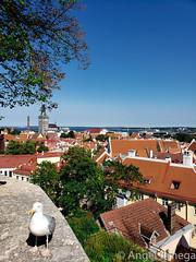 TallinnSkyline (sev7enth) Tags: tallinn estonia skyline sky rooftop roof red blue bird pigeon wall brick stone concrete trees leaves samsung s9