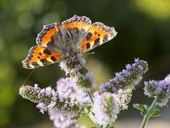 Small Tortoiseshell (richpix) Tags: butterfly mint garden september autumn flower wings insect aglaisurticae smalltortoiseshell pembrokeshire uk lumix g9 panasonic leica 1260