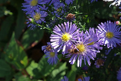 Autumn fireworks (barbmz) Tags: aster biene bee autumn herbst drought trockenheit