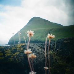 Faroe Dreams (GlobalGoebel) Tags: 35mm 35mmfilm 400 400h faroeislands fujix100t fujifilm fujipro fujipro400h travelphotography analogue diana dianamini faeroerne faroe film filmisnotdead foroyar ishootfilm island islands lomo lomography plasticlens square squareformat toycamera travel gjogv streymoy flowers mountain