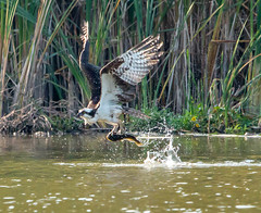 Dropping in for dinner (SusieMSB7) Tags: birds nature pond food fishing osprey