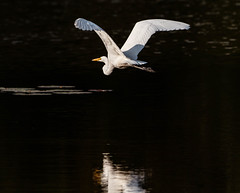 White reflection (SusieMSB7) Tags: reflection flying pond nature birds egret
