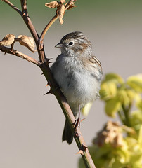 Brewer's Sparrow, Spizella breweri (Dave Beaudette) Tags: birds brewerssparrow spizellabreweri reidpark pimacounty arizona