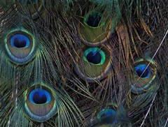 One of nature's best (rlt64) Tags: peacock feathers birds nature