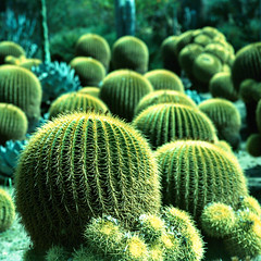 desert gardens (xpro). san marino, ca. 2018. (eyetwist) Tags: eyetwistkevinballuff eyetwist cacti cactus huntington desert gardens sanmarino pasadena losangeles california mamiya 6mf 50mm kodak ektachrome epn 100 mamiya6mf mamiya150mmf45l kodakektachrome100epn xpro crossprocess cross process processed ishootfilm ishootkodak analog analogue film emulsion mamiya6 square 6x6 mediumformat 120 filmexif iconla epsonv750pro lenstagger los angeles la huntingtonlibrary garden spiny sharp point barrel leaves thorn