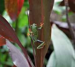Red-Eyed Tree Frog (rlt64) Tags: amphibian frogs nature wildlife costa rica
